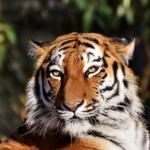 トラとジャガーとライオンの違いとは!?