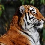 日本における虎の歴史!いつから虎はいたの?