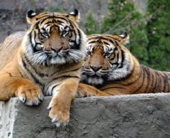 虎 色 種類