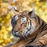野生の虎の平均寿命ってどれくらい!?