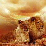 ライオンの群れの名前とは?群れの構成はどうなっているの!?