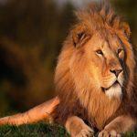 ライオンの顔に虫が集まっている理由は何!?