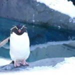 ペンギンの赤ちゃんの生態についてのまとめ。