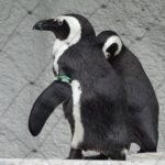 ペンギンがフレンドリーで人懐っこい性格の理由とは!?