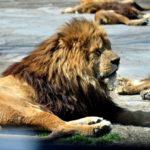 ライオンのたてがみの色はそれぞれ違う?色にも意味がある!?