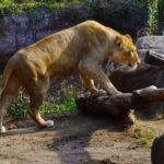 ライオンの赤ちゃんの生態についてのまとめ
