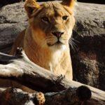 ライオンの赤ちゃんの成長について。大きさや体重はどれくらい!?