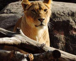 ライオン 赤ちゃん 成長 大きさ 体重
