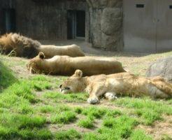 ライオン たてがみ 年齢