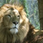 ライオンのたてがみには何の役割があるの!?