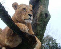 ライオン 赤ちゃん なつく