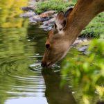 警戒している?鹿の鳴き声の種類や意味について。