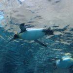 日本で見れるペンギンの種類一覧をご紹介!