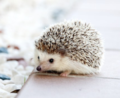 ハリネズミ 寿命 平均 ペット