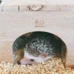 ハリネズミの飼育に隠れ家は必要?大きさはどれくらい?