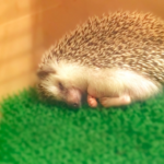 ハリネズミの睡眠時間は?夜どれくらい動いているの!?