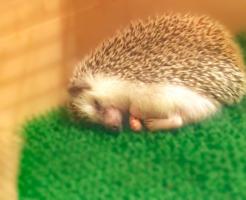 ハリネズミ 夜 寝てる