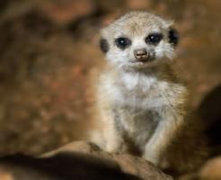 ミーアキャット 動物園 日本 赤ちゃん