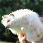 ハリネズミの飼育で臭い時の原因や対策方法について