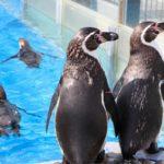 ペンギンの種類一覧まとめについて。