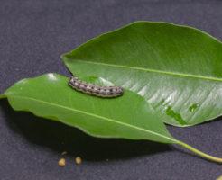 ヨトウムシ 幼虫 大きさ