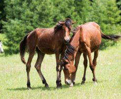 馬 品種 大型